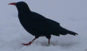 Chough in the snow, South Stack.