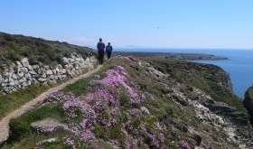 Sea Pinks on Coastal Path near South Stack