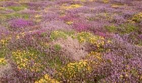 Maritime Heathland in Flower