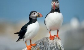Puffins will be nesting in May - we should see them as we walk past South Stack on Day 1.