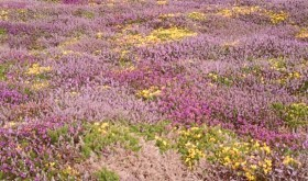 Maritime heathland in flower
